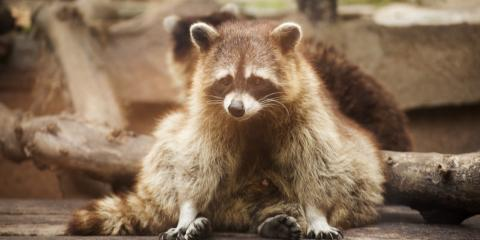 What Should You Do About Raccoons in Your Yard?, Concord, North Carolina