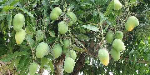 3 Best Practices for Pruning Fruit Trees, Ewa, Hawaii