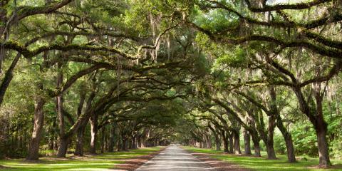 Meet Georgia's State Tree: the Southern Live Oak, Commerce, Georgia