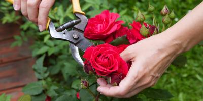 How to Winterize Geraniums, Fuchsias, & Roses in Alaska, Anchorage, Alaska